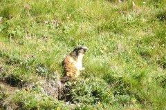Marmotta heißen sie auf italienisch und sie begleiten unsere Touren